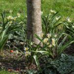 <em>Tulipa turkestanica</em> 03/03/2021
