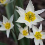 <em>Tulipa turkestanica</em> 09/03/2019