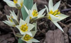 Floraison fin mars (première année) au pied du pommier Malus 'Evereste'