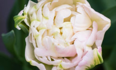 Tout début de floraison, dans jardinière à l'ombre, fin avril