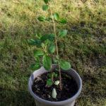 <em>Viburnum plicatum f. tomentosum</em> 'Lanarth' 04/04/2021