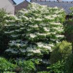 <em>Viburnum plicatum f. tomentosum</em> 'Lanarth' 27/04/2019
