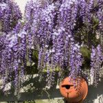 <em>Wisteria sinensis</em> 20/04/2015