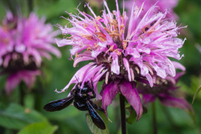 on Monarda flower