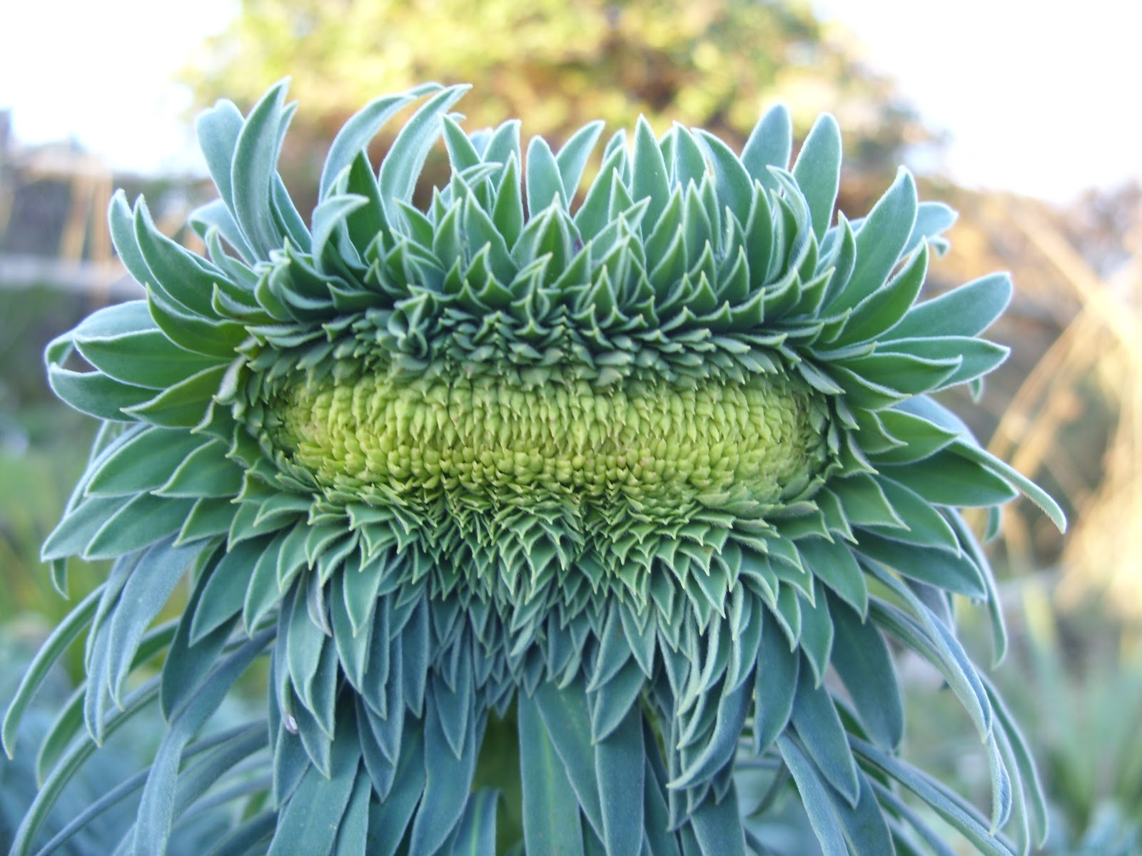 http://ernieandi.blogspot.com/2011/01/fascinationg-fasciation.html