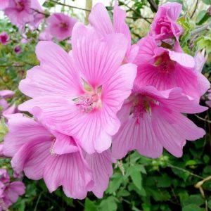 Image en provenance du site https://www.tuincentrum.nl/lavatera-roze