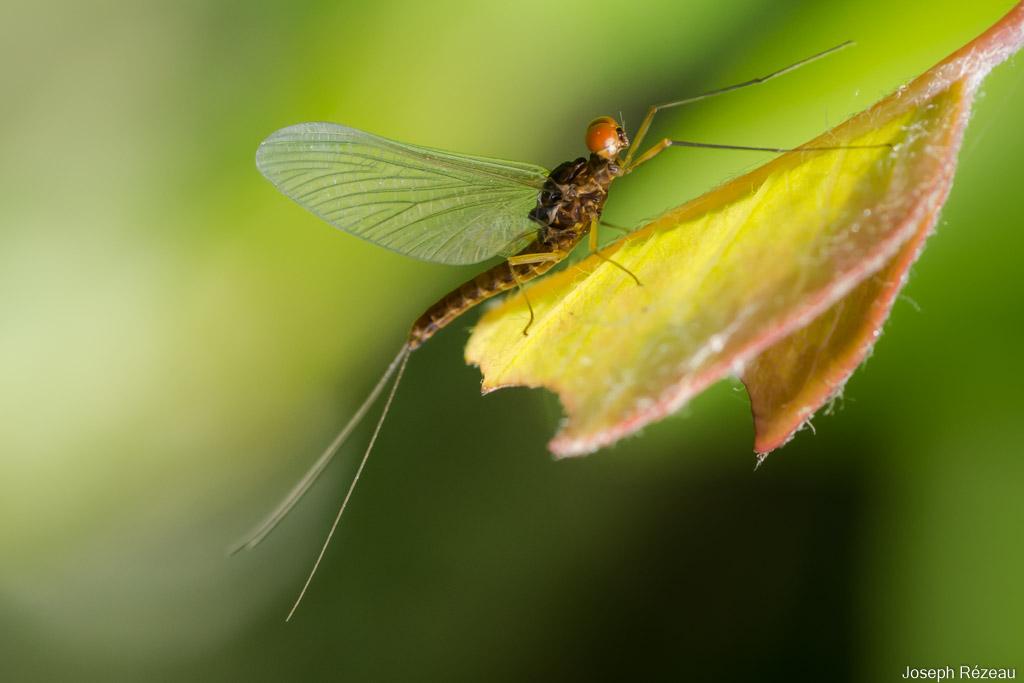 Ephemerellidae: Serratella sp.