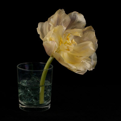 tulip04