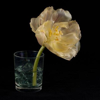tulip06