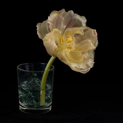 tulip08