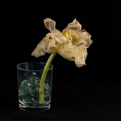 tulip14