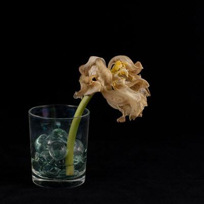 tulip21