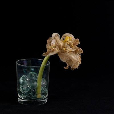 tulip23