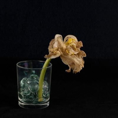 tulip24