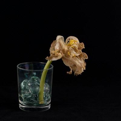 tulip25