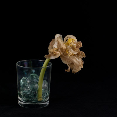 tulip26